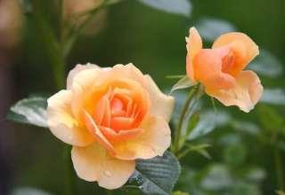 rose-flower-blossom