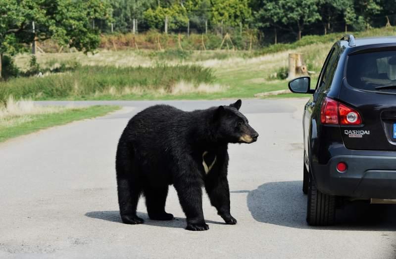 bear-beautiful-animal-attack-black